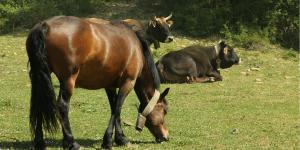 Caballos y vacas en Puy Moné. Prepirineo, Cinco Villas. Turismo familiar.